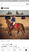 للبيع حصان عربي شعبي