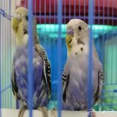 زوج طيور البادجي