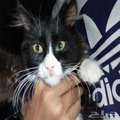 قطة ما ادري وش هي ساعودني يخوان