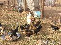 دجاج بلدي للبيع بياض