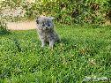 قطط سكوتش للحجز . قطط كتن