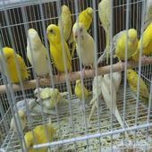 طيور حب (بادجي)