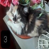 قطط صغار اعمارهم شهر ونص هملايا