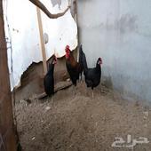 ديك ودجاج وفروخ