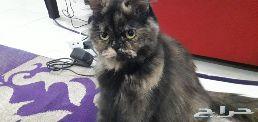 قطط شيرازي للتبني مقابل قيمة رعايتها فقط