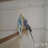 جوز باجي طيور الحب