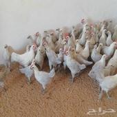 دجاج فيومي المينيوم