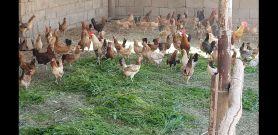دجاج بلدي الوان فواتح وحجم كبير