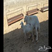 خروف فحل مشروط