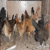 دجاج بياض للبيع عدد 9 دجاج وديك المجموع ب 250