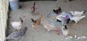 دجاج بلدي للبيع في بيشة