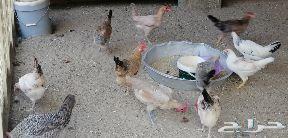 دجاج بياض وحضان للبيع في بيشة