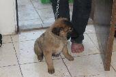 كلب جيرمن للبيع العمر شهرين ونص