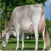 فواخر الأبقار