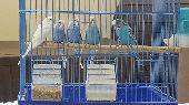 طيور الحب(بادجي)للبيع