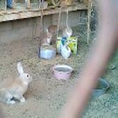 أرانب العدد 8 حبات أمهات وإنتاجهن