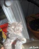 قطه روسيه بسعر مغري جدا