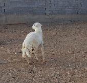 خروف فحل