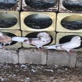 حمام بلجيكي في خميس مشيط