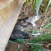 قطط بلدي للتبني بريدة