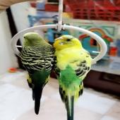للبيع زوج طيور البادجي لون روعه تغريد حلووو