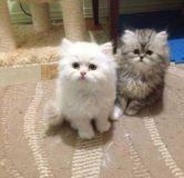 قطط شيرازي (تم البيع )