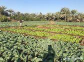 مزارع الدمام للخضار