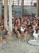دجاج بشاير قريب 4شهورعلى 10ريال