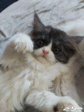 قط جميل للبيع