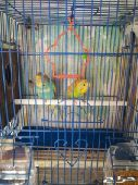 بيس  طيور الحب (انتاج منزل)