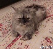 قطة انثى عمرها سنه ونص طالبه التزاوج الاحساء