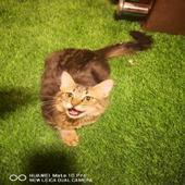 قطط شيرازي للتبني