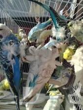 طيور حب هوقو جملة