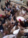 للبيع دجاج بياض مع الديوك بالخرج