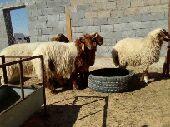 للبيع خرفان نعيم ورخل عمرها 8شهور ومغلقه شحم