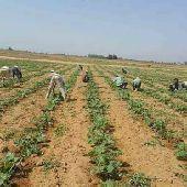 استقدام مباشر مزارعين من جميع محافظات مصر