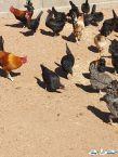 دجاج بلدي عدد 100 تقريبا حايل حقروصين