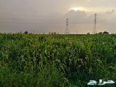 بونيكام أخضر للبيع في وادي جيزان