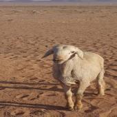 خروف حبصي صنف للبيع