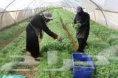 عماله زراعيه مصريه مزارع و بيوت محميه و نخل