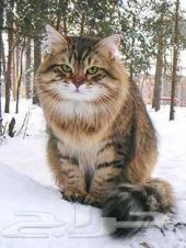 قط من فصيلة سيبيريا للبيع