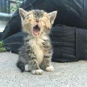 جيزان - قطتين شيرازي لتبني