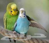 دفعة طيور بادجي