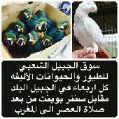 سوق الجبيل للطيور