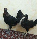 نجران - طيور حب   ودجاج كويتي