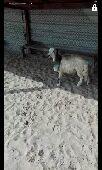 خروف حري الدمام