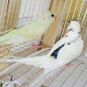طيور الحب -ب100 مع الشبك والاكل