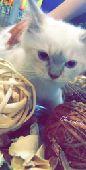قطط للبيع لنكس همليا