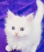 قطط بيرشن