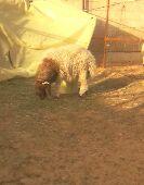 خروف نعيم